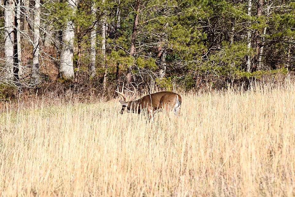 Deer in Cades Cove during Wilderness Wildlife Week